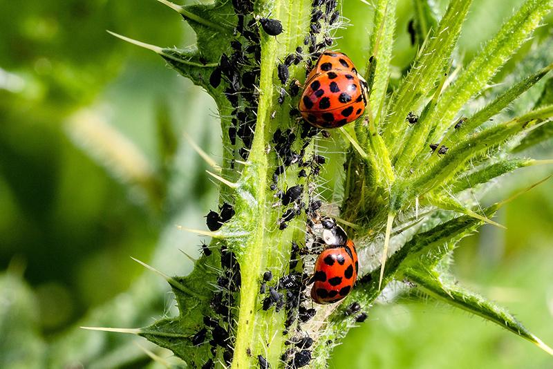 Tlja ladybug